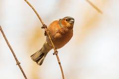 Κοινό finch, φωτεινό πουλί κάθεται σε έναν λεπτό κλάδο και εξετάζει το φωτογράφο στοκ εικόνες