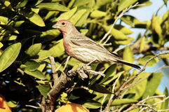 Finch 2 Royalty Free Stock Photo