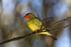 Finch Royalty Free Stock Images