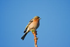 Finch Royalty Free Stock Photography