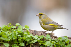Finch Stock Photo