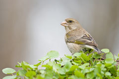 Finch Στοκ Φωτογραφία