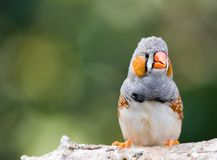Finch. A colorful female zebra finch sitting on a branch Royalty Free Stock Photography