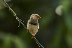 Ζέβες Finch Στοκ φωτογραφίες με δικαίωμα ελεύθερης χρήσης