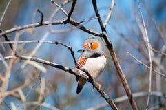 Ζέβες Finch Στοκ Φωτογραφίες