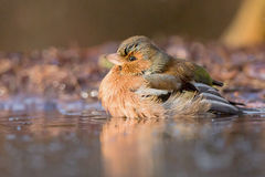 finch royaltyfri foto