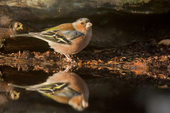 finch Imagem de Stock Royalty Free