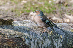 Finch. A beautiful Finch spotted in the forest stock photography