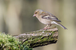 Finch. A beautiful Finch spotted in the forest royalty free stock photography