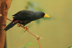 The finch-billed myna Royalty Free Stock Images
