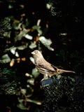 Finch Bird Fotografering för Bildbyråer