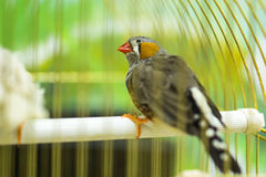 Finch bird. Is the Asian sparrow Stock Image