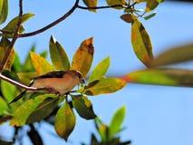 Finch bird in aviary Stock Photography