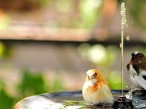 Finch bird in birdbath, Florida. A finch bird in a bird bath in an aviary in Butterfly World, South Florida Royalty Free Stock Photography