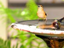 Finch bird in birdbath, South Florida Stock Photography