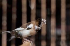Finch Royalty Free Stock Photos