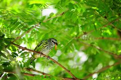 Finch Bird Eating a Worm Royalty Free Stock Photos