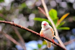 Finch bird, Florida. A finch bird in an aviary in Butterfly World, South Florida Stock Image