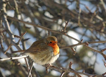 Finch bird on a frosty  day Orange, fluffy, feathers Stock Photo