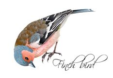 Finch bird illustration. Vector realistic highly detailed illustration of finch bird isolated on white background. Design element for wedding, christmas Royalty Free Stock Photo