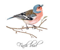 Finch bird illustration. Vector realistic highly detailed illustration of finch bird isolated on white background. Design element for wedding, christmas Royalty Free Stock Image