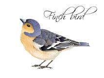 Finch bird illustration Stock Photo