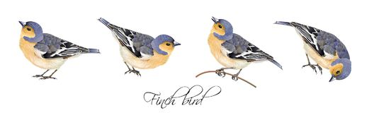 Finch bird illustrations set. Vector realistic highly detailed illustration set of finch bird isolated on white background. Design element for wedding, christmas Royalty Free Stock Images