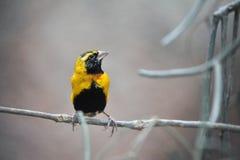 Finch Bird On A Branch Stock Photo