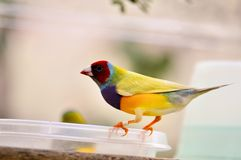 Finch bird perched on plastic food bowl Royalty Free Stock Image