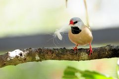Finch Bird Preparing To Make a Nest. Long-tailed Finch, also known as Blackheart Finch, Shaft-tail Finch, Heck's Grassfinch, Heck's Grass Finch, and Heck's Finch Royalty Free Stock Image