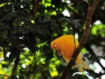 Finch bird (Sicalis) Stock Photography
