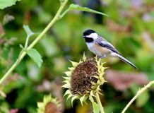 Bird Black capped chickadee. Black capped chickadee bird on top of a sunflower royalty free stock image