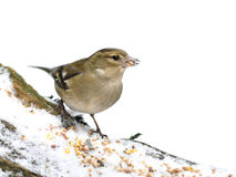Finch bird on a tree covered with snow eating Stock Images