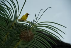 Finch Bird Yellow Green Wild djur Zanzibar Arkivbild