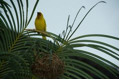 Finch Bird Yellow Green Wild djur Zanzibar Royaltyfri Bild