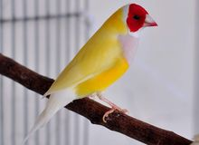 Gouldian Finch Bird royalty free stock image