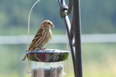Finch on a Birdfeeder Royalty Free Stock Images