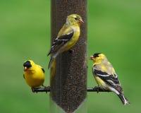 Finch Birds bij Voeder Stock Foto