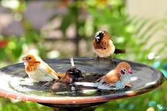 Finch birds in bird bath. Three Finch birds, including a male Red-cheeked Cordon-bleu (Uraeginthus bengalus) bird in the water of a birdbath in an aviary in Royalty Free Stock Photos