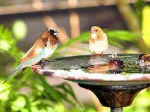 Finch birds in birdbath in aviary Royalty Free Stock Photos