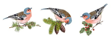 Finch birds set. Vector realistic detailed illustration set of finch birds on branches isolated on white background. Winter design elements for Christmas, New Royalty Free Stock Images