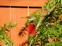 FINCH ON BOTTLEBRUSH TREE. This  was taken  in my yard thought it was a great photo of nature Stock Photo