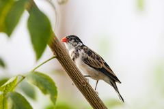 Finch on Branch Royalty Free Stock Photography