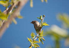Finch on a Branch Stock Photography