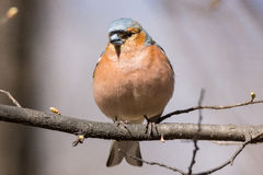 Finch on a branch Royalty Free Stock Image