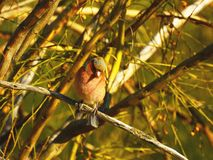 Finch between the branches royalty free stock image