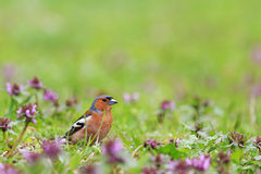 Finch of bright spring flowers. Finch among the spring flowers, spring singing birds, green grass, wildlife Stock Photo
