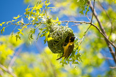 Finch building nest. A finch building nest in a tree Royalty Free Stock Photos