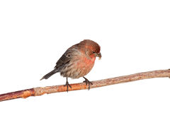 Finch casts aside a safflower seed shell Royalty Free Stock Photography