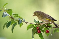 Finch and cherries Stock Images